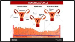 Your Menstral Cycle