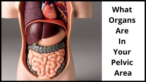 What Organs Are In Your Pelvic Area